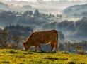 Rubia Gallega | La vacca vecchia galiziana