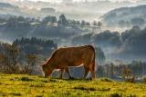 Rubia Gallega   La vacca vecchia galiziana